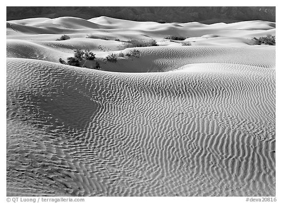 Sand dunes and bushes. Death Valley National Park (black and white)