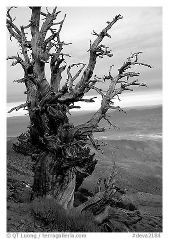 Bristlecone Pine tree near Telescope Peak. Death Valley National Park (black and white)