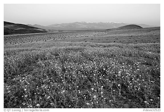 Desert Gold flowers and Panamint Range, Ashford Mill area, sunrise. Death Valley National Park (black and white)