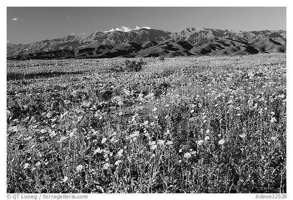 Desert Gold and badlands, afternoon. Death Valley National Park (black and white)