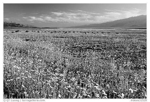 Valley and rare desert blooms, late afternoon. Death Valley National Park (black and white)