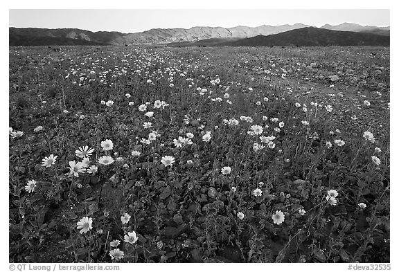 Desert Gold flowers and mountains, sunset. Death Valley National Park (black and white)