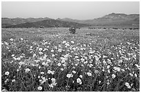 Yellow wildflowers and mountains, dusk. Death Valley National Park ( black and white)