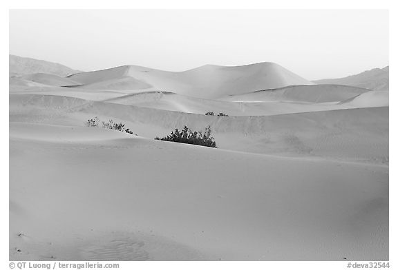Mesquite sand dunes at dawn. Death Valley National Park (black and white)