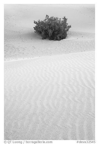 Mesquite bush and sand ripples, dawn. Death Valley National Park (black and white)
