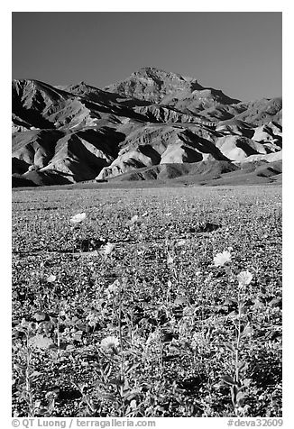 Desert Gold in bloom on flats bellow the Armagosa Mountains, late afternoon. Death Valley National Park (black and white)