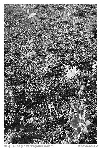 Desert Gold blooming out of desert flat. Death Valley National Park (black and white)