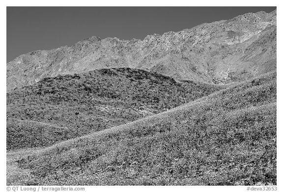 Hills covered with Desert Gold and Smith Mountains, morning. Death Valley National Park (black and white)
