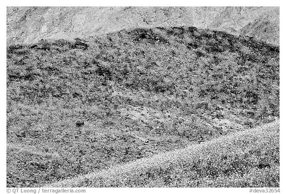 Hills covered with rare carpet of yellow wildflowers. Death Valley National Park (black and white)