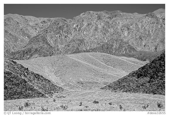 Hills covered with yellow blooms and Smith Mountains, morning. Death Valley National Park (black and white)