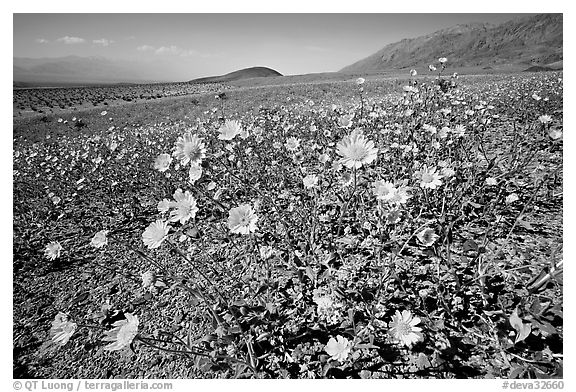 Desert Gold seen close, with Shoreline Butte and Valley in the background near Ashford Mill. Death Valley National Park (black and white)