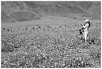 Couple videotaping and photographing in a field of Desert Gold near Ashford Mill. Death Valley National Park ( black and white)