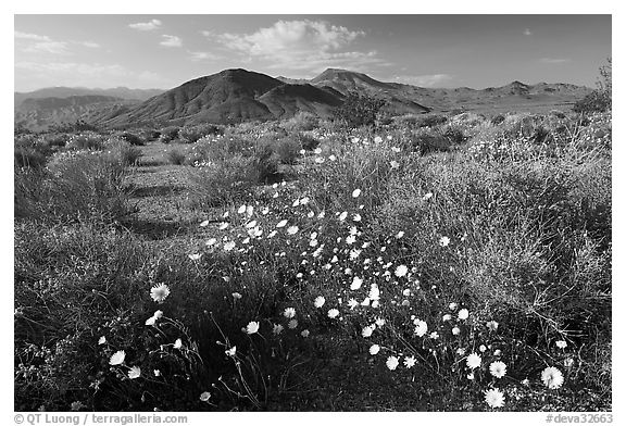 High desert with Desert Dandelion flowers n. Death Valley National Park (black and white)