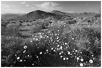 High desert with Desert Dandelion flowers n. Death Valley National Park ( black and white)