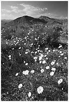 Desert Dandelion flowers above Jubilee Pass, afternoon. Death Valley National Park, California, USA. (black and white)