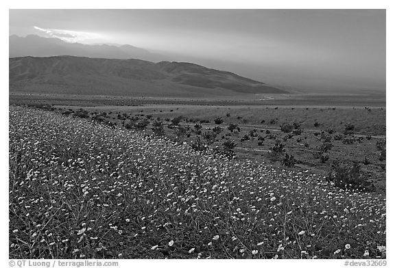 Field of Desert Gold and Owlshead Mountains near Ashford Mill, sunset. Death Valley National Park (black and white)
