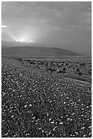 Carpet of Desert Gold and Owlshead Mountains near Ashford Mill, sunset. Death Valley National Park ( black and white)