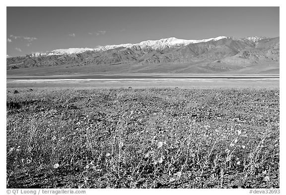 Desert Gold and snowy Panamint Range, morning. Death Valley National Park (black and white)