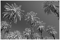 Date trees in Furnace Creek Oasis. Death Valley National Park ( black and white)