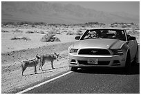 Tourists photograph coyotes from car. Death Valley National Park ( black and white)