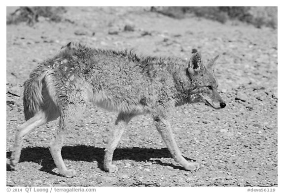 Coyote walking. Death Valley National Park (black and white)