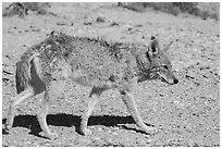 Coyote walking. Death Valley National Park ( black and white)
