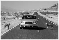Habituated coyotes standing on road next to car. Death Valley National Park ( black and white)