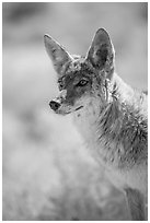 Coyote portrait. Death Valley National Park ( black and white)