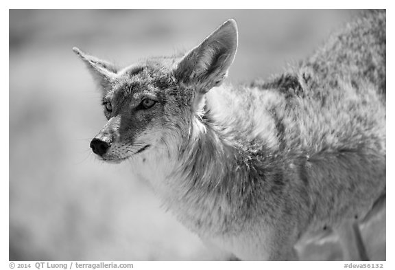Coyote. Death Valley National Park (black and white)