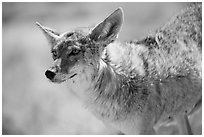 Coyote. Death Valley National Park ( black and white)