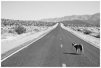 Coyote standing on desert road. Death Valley National Park ( black and white)