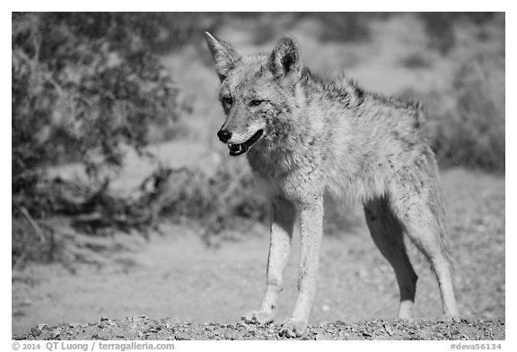 Desert coyote. Death Valley National Park (black and white)