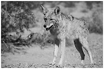 Desert coyote. Death Valley National Park ( black and white)
