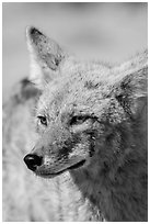 Coyote head. Death Valley National Park ( black and white)
