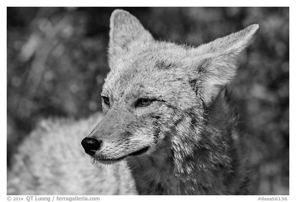 Close-up of coyote. Death Valley National Park (black and white)