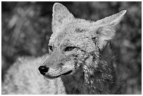 Close-up of coyote. Death Valley National Park ( black and white)