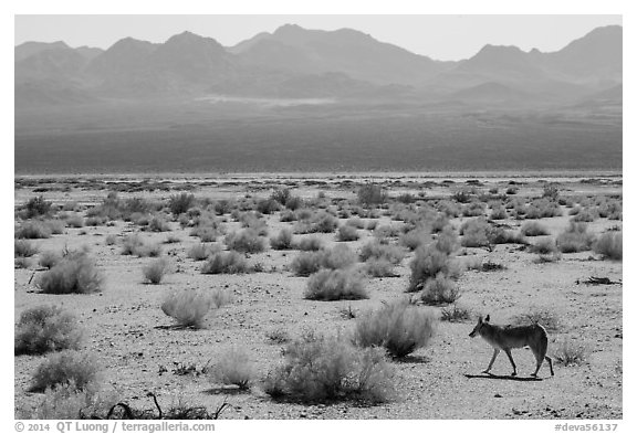 Coyote walking on valley floor. Death Valley National Park (black and white)