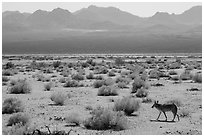 Coyote walking on valley floor. Death Valley National Park ( black and white)