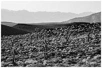 High desert environment with Joshua Trees. Death Valley National Park ( black and white)
