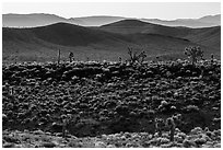 Joshua trees on ridges. Death Valley National Park ( black and white)