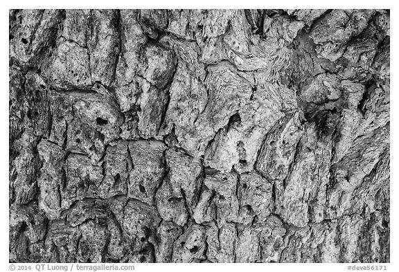 Close-up of Joshua tree bark. Death Valley National Park (black and white)