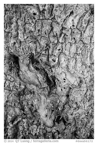 Joshua tree bark close-up. Death Valley National Park (black and white)