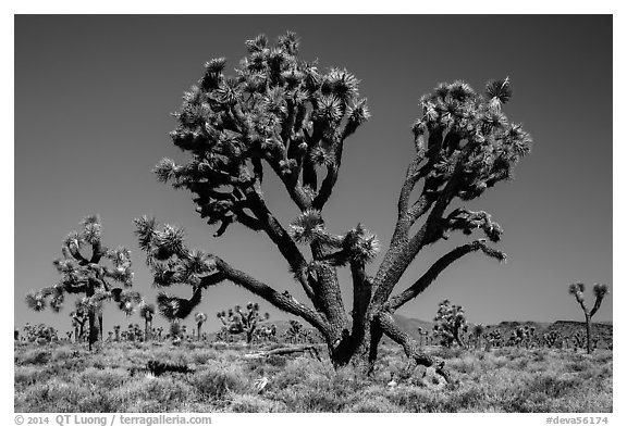 Lee Flat Joshua trees. Death Valley National Park (black and white)