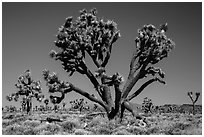 Lee Flat Joshua trees. Death Valley National Park ( black and white)