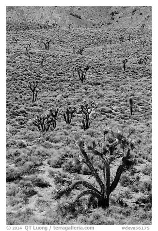 Joshua trees on hillside. Death Valley National Park (black and white)