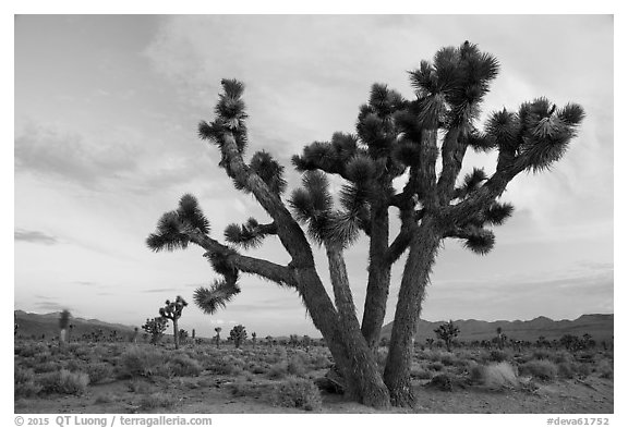 Joshua Trees at dawn, Lee Flat. Death Valley National Park (black and white)