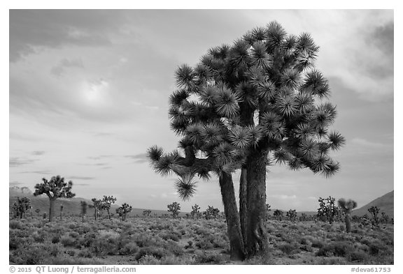 Joshua Trees at sunrise, Lee Flat. Death Valley National Park (black and white)