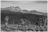 Joshua Trees and mountains, Lee Flat. Death Valley National Park ( black and white)