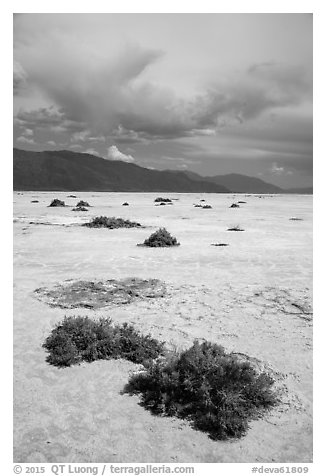 Shrubs growing on Salt Pan. Death Valley National Park (black and white)