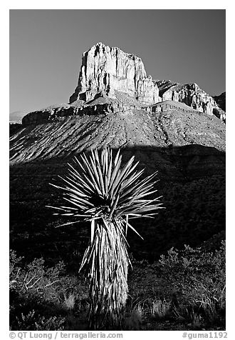 Yucca and El Capitan, early morning. Guadalupe Mountains National Park (black and white)